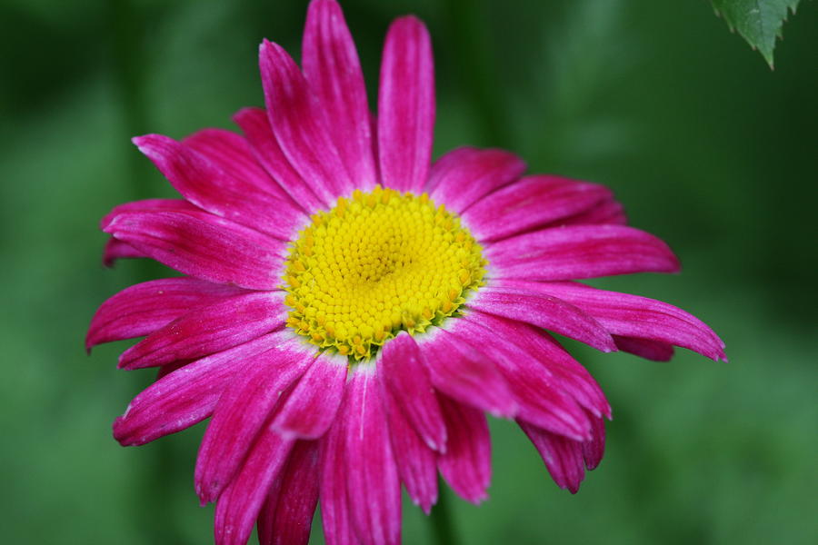 Fresh Painted Daisy HD Wallpaper Download Wallpaper