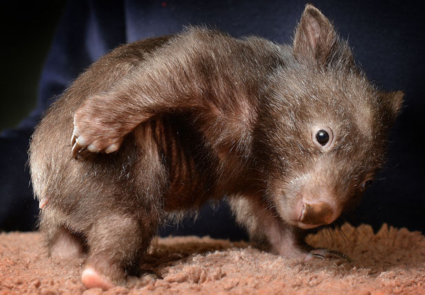 Wombat HD Wallpaper Download Wallpaper