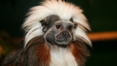 Cotton Top Tamarin | Where the Wild things are | Pinterest
