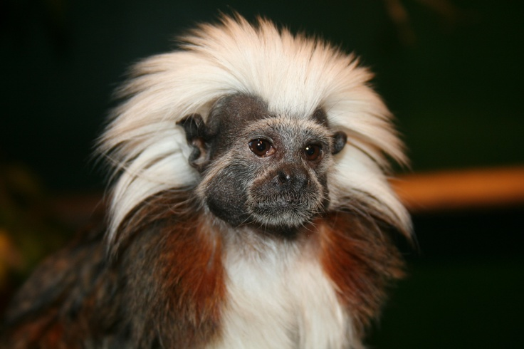 Cottontop Tamarin full hd photo Wallpaper