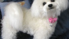 Bichon Frise Dog Breed | Remarkable Dogs