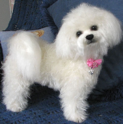 Good Quality Bichon Frise HD Wallpaper Wallpaper