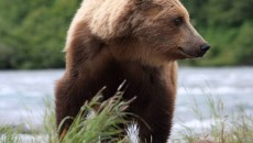 Brown Bear_AK