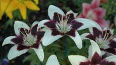 of Purple Rain Lily (Lilium \'Purple Rain\') at Squak Mountain Nursery