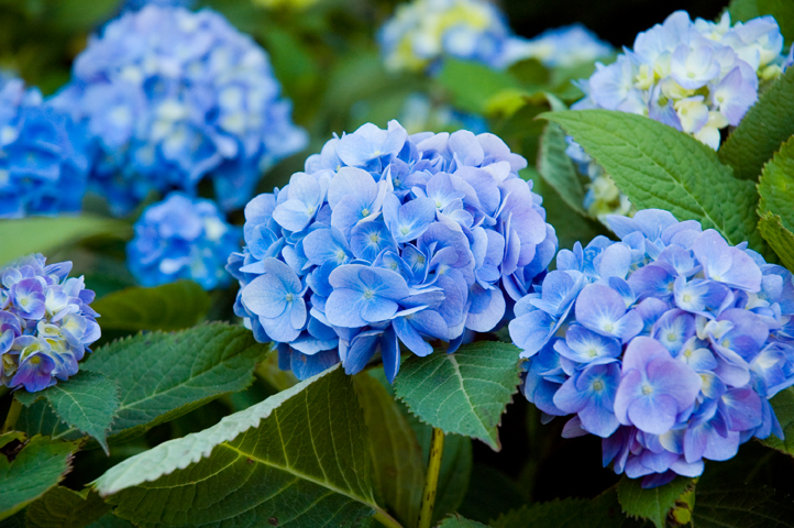 Fresh Hydrangea HD Wallpapers Download Wallpaper